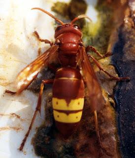 eşşek arısı